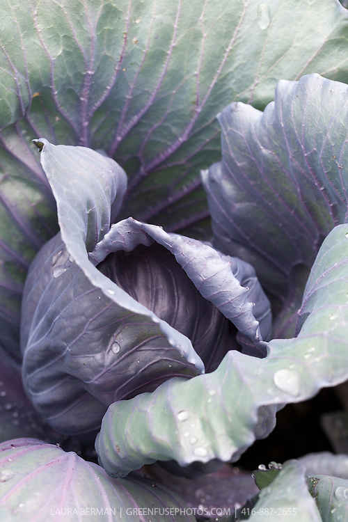Purple cabbage plant sprinkled with raindrops in the vegetable garden