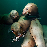 Canada, British Columbia, Hornby Island, Underwater view of Steller's Sea Lions (Eumetopias jubatus) swimming