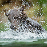 USA, Alaska, Katmai National Park, Coastal Brown Bear (Ursus arctos) splashes while fishing in salmon spawning stream along Kuliak Bay