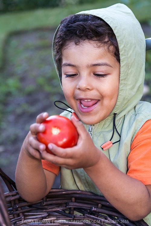 A young boy enjoys eating a tomato in a vegetable garden