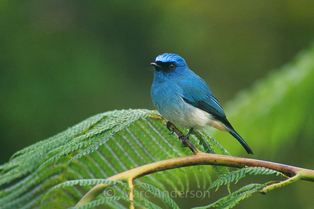 Indigo Flycatcher (Eumyias indigo), Mount Kinabalu National Park, Sabah, Malaysia..