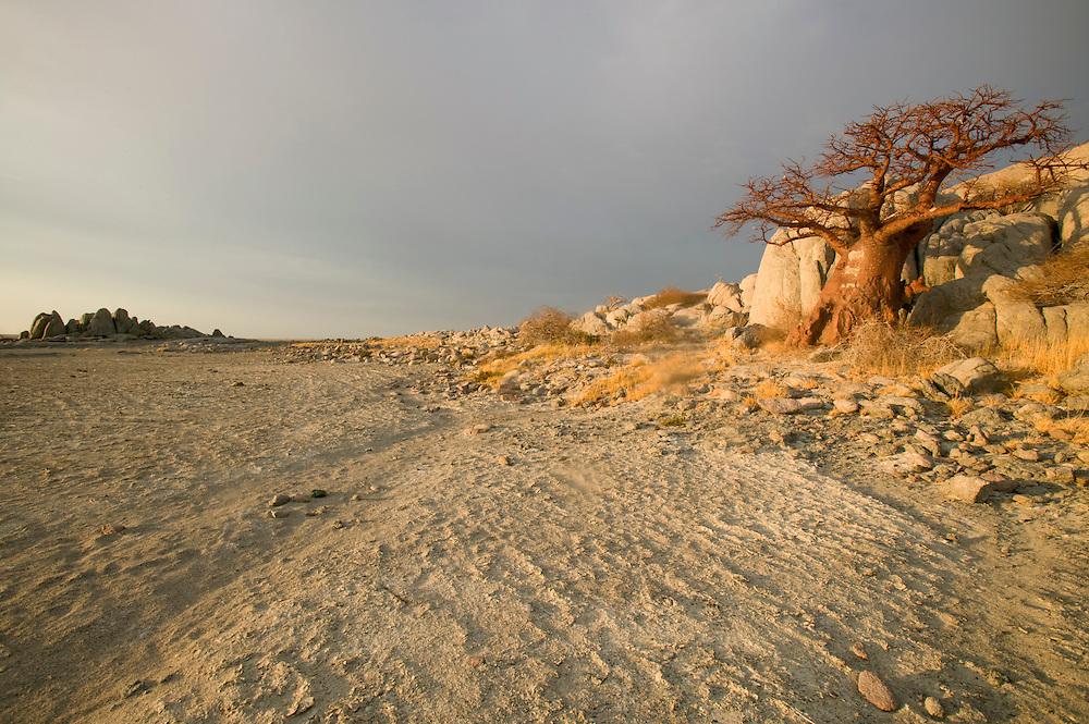 Africa, Botswana, Morning sun lights Baobab Tree (Adansonia digitata) on Kubu Island on Makgadikgadi Pan in Kalahari Desert