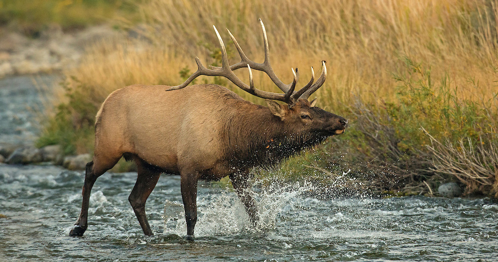 A bull elk crosses the Gardner River in Yellowstone National Park to drive away a rival bull that is approaching too near his harem. If the rival does not retreat, a battle will ensue. In this case, the rival quickly left the herd bull's territory.