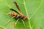 Paper Wasp (Polistes dorsalis)<br /> United States: Alabama: Tuscaloosa Co.<br /> Tulip Tree Springs off Echola Rd.; Elrod<br /> 12-Jun-2016<br /> J.C. Abbott #2831 &amp; K.K. Abbott