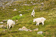 Nursing Mountain Goat (Oreamnos americanus) chases another goat away as they graze along the Crow Pass Trail in Chugach National Forest in Southcentral Alaska. Summer. Afternoon.