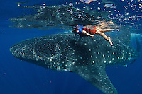 A 5-year old buy swims with a whale shark (Rhincodon typus) at a feeding aggregation off of Isla Mujeres, Mexico