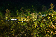 Spotted Gar (eating a sunfish)<br />