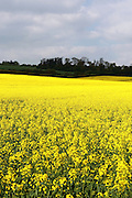 Rapeseed fields near Tewin in Hertfordshire