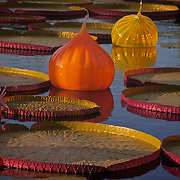 Photo by Leandra Melgreen Lewis of the Lily pads floating with Chuily glass orbs at<br /> Missouri Botanical Gardens in St. Louis.