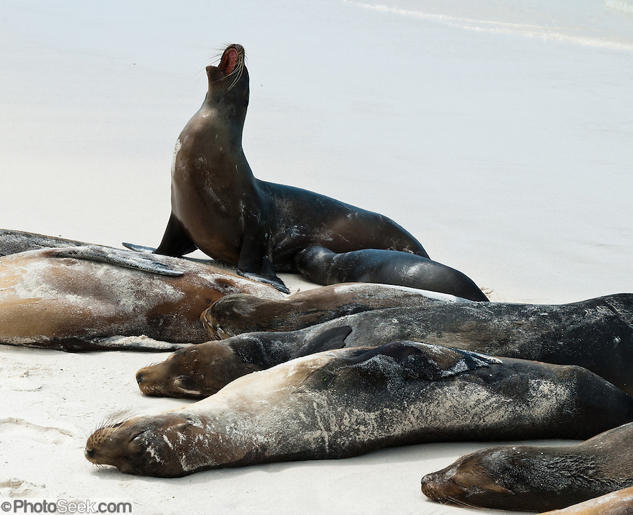 """Galápagos Sea Lions (Zalophus wollebaeki) bark and bask on the sandy beach of Gardner Bay, a wet landing location on Española (Hood) Island, Galapagos Islands, Ecuador, South America. This mammal in the Otariidae family breeds exclusively on the Galápagos Islands and in smaller numbers on Isla de la Plata, Ecuador. Being fairly social, and one of the most numerous species in the Galápagos archipelago, they are often spotted sun-bathing on sandy shores or rock groups or gliding gracefully through the surf. They have a loud """"bark"""", playful nature, and graceful agility in water. Slightly smaller than their Californian relatives, Galápagos Sea Lions range from 150 to 250 cm in length and weigh between 50 to 400 kg, with the males averaging larger than females. Sea lions have external ear-like pinnae flaps which distinguish them from their close relative with whom they are often confused, the seal. When wet, sea lions are a shade of dark brown, but once dry, their color varies greatly. The females tend to be a lighter shade than the males and the pups a chestnut brown. In 1959, Ecuador declared 97% of the land area of the Galápagos Islands to be Galápagos National Park, which UNESCO registered as a World Heritage Site in 1978. Ecuador created the Galápagos Marine Reserve in 1998, which UNESCO appended in 2001."""