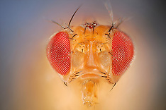 Fruit flies | Fruchtfliegen