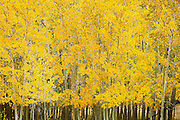 """SHOT 9/23/14 3:09:04 PM - A stand of aspen trees change color near Rollinsville, Co. in the Arapaho National Forest. Aspens are trees of the willow family and comprise a section of the poplar genus, Populus sect. Populus. The Quaking Aspen of North America is known for its leaves turning spectacular tints of red and yellow in the autumn of the year (and usually in the early autumn at the altitudes where it lives). This causes forests of aspen trees to be noted tourist attractions for viewing them in the fall. These aspens are found as far south as the San Bernardino Mountains of Southern California, though they are most famous for growing in Colorado. Autumn leaf color is a phenomenon that affects the normally green leaves of many deciduous trees and shrubs by which they take on, during a few weeks in the autumn months, one or many colors that range from red to yellow. The phenomenon is commonly called fall colors and autumn colors, while the expression fall foliage usually connotes the viewing of a tree or forest whose leaves have undergone the change. In some areas in the United States """"leaf peeping"""" tourism between the beginning of color changes and the onset of leaf fall, or scheduled in hope of coinciding with that period, is a major contribution to economic activity. (Photo by Marc Piscotty / © 2014)"""