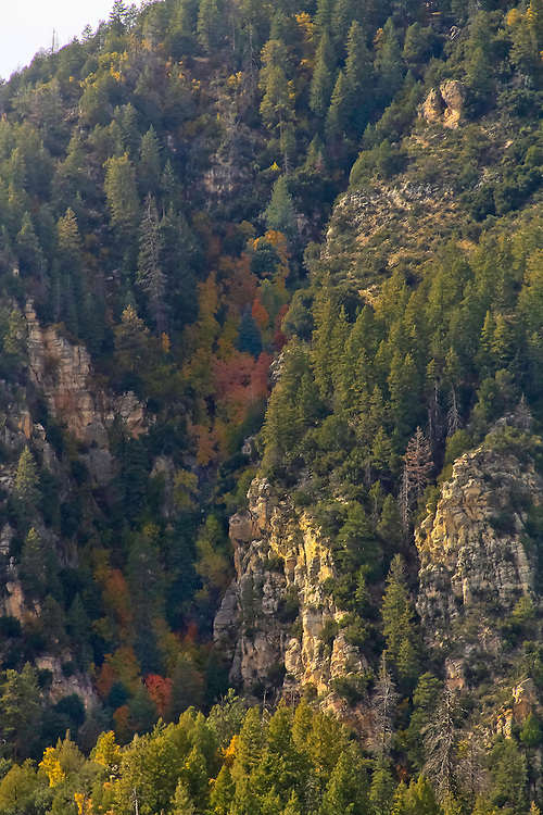 Running ridge of tree color out of Oak Creek Canyon