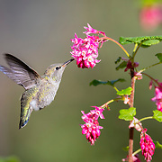 An Anna's hummingbird (Calypte anna) feeds on a red flowering currant (Ribes sanguineum).