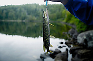 Showing off a Northern Pike caught in the Boundary Waters of Northern, Minnesota. .