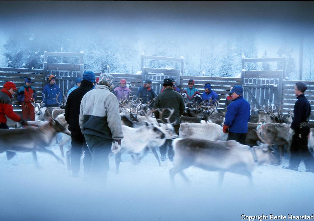 reinskilling Långsådalen Reindrift i Nord-Trøndelag. Reindeer herding in Mid-Norway.