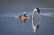 A western grebe prepares to dive in the Lake DeWeese headwaters, with its baby on its back.