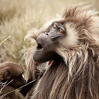 Highly Commended, Nature's Best Windland Smith Rice Awards 2011. Gelada baboons, Theropithecus gelada, enjoy a good grooming on the Guassa Plateau, Ethiopia