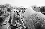 Polar Bears at Henry Vilas Zoo in Madison, Wisconsin Tuesday, April 4, 2017.