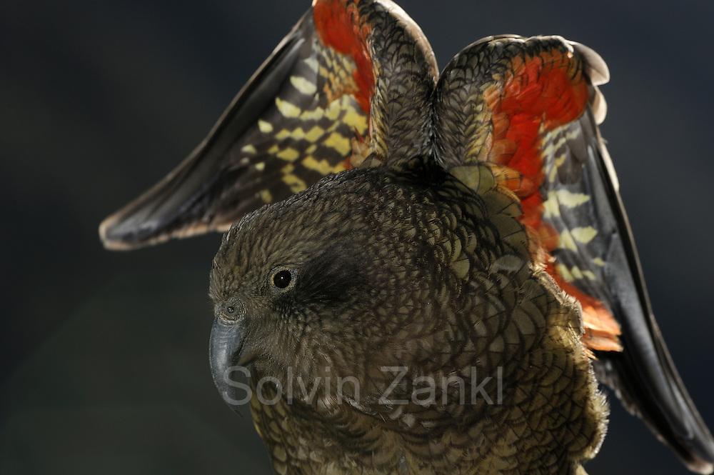 Kea (Nestor notabilis) Arthur's Pass, New Zealand   Kea oder Bergpapagei (Nestor notabilis) - Die leuchtenden bunten Federn der Keas auf der Unterseite der Flügel dienen als Signalfarbe. Arthur's Pass, Neuseeländische Alpen, Neuseeland.