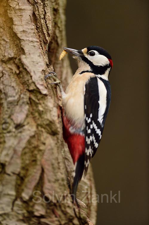 Great Spotted Woodpecker The Biosphere Reserve 'Niedersächsische Elbtalaue' (Lower Saxonian Elbe Valley), Germany | Buntspecht (Dendrocopos major)