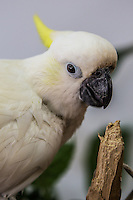 Cockatoos, Cacatuidae, are members of the parrot family, recognizable from their crests.  They live in forested eucalyptus groves, rainforests and pine forests. Cockatoos' feathers are usually white.
