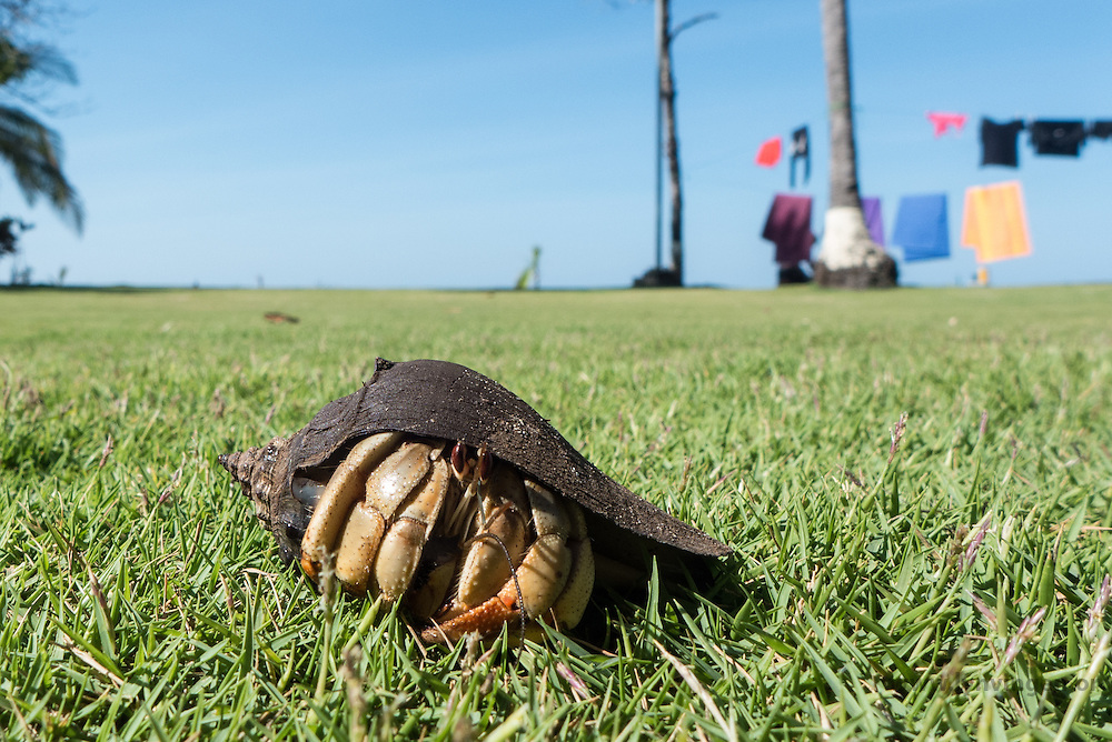 hermit crab in Cost Rica