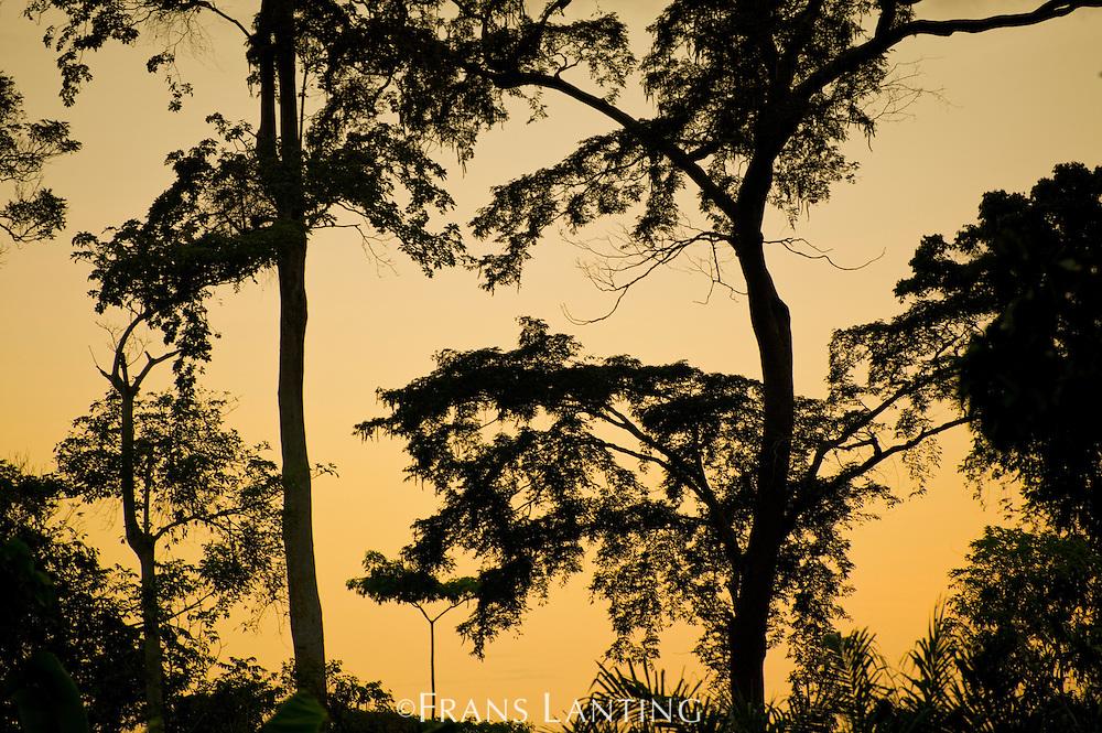 Tall rainforest trees at twilight, Atobiase, Ghana