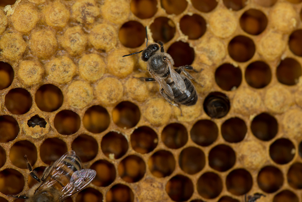European honey bee (Apis mellifera), deformed wing virus, Captive,  credit: Palo Alto JMZ/M.D. Kern