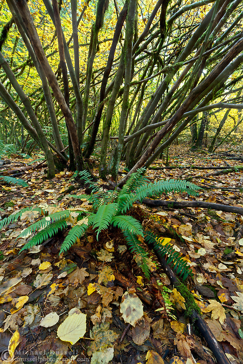 A Sword Fern (Polystichum munitum) grows beneath a grove of Vine Maples (Acer circinatum) at Campbell Valley Park in Langley, British Columbia, Canada