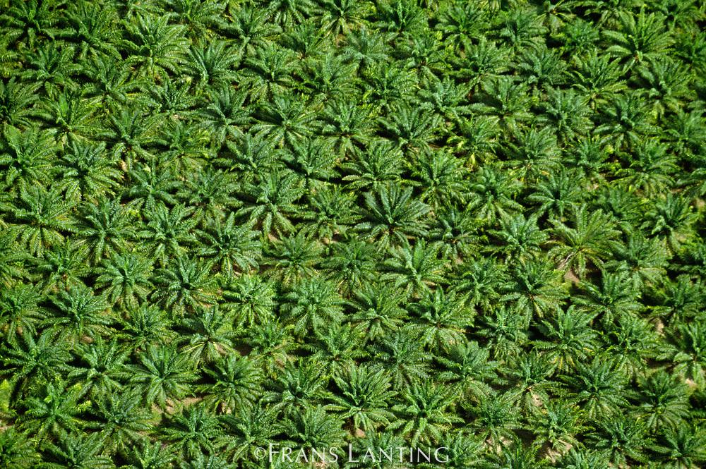 Oil palm plantation (aerial), Sabah, Borneo
