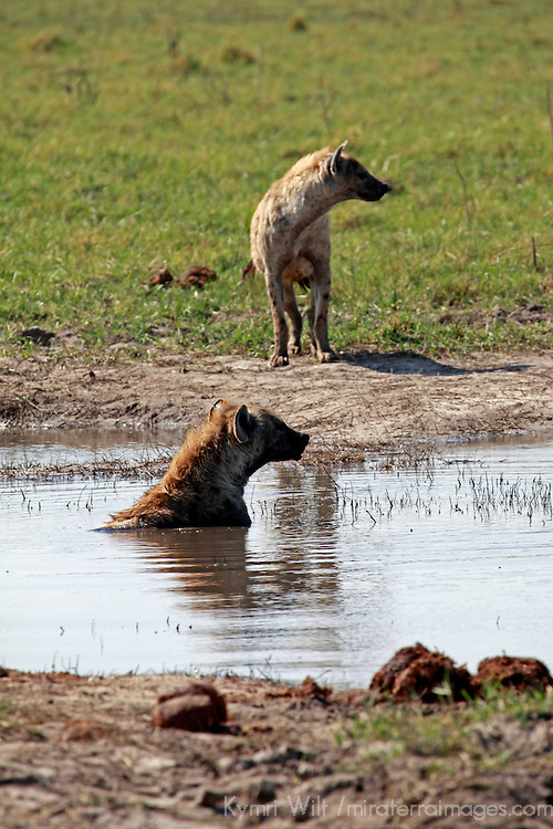 Africa, Botswana, Savute. Wild Dogs in water at Chobe.