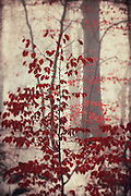 Vivid red leaves on a small tree on a misty winter day...<br /> textured photograph<br /> Society6 products: https://society6.com/product/silent-days-zo8_print#1=45<br /> <br /> Redbubble: http://www.redbubble.com/people/dyrkwyst/works/18915031-silent-days?ref=recent-owner