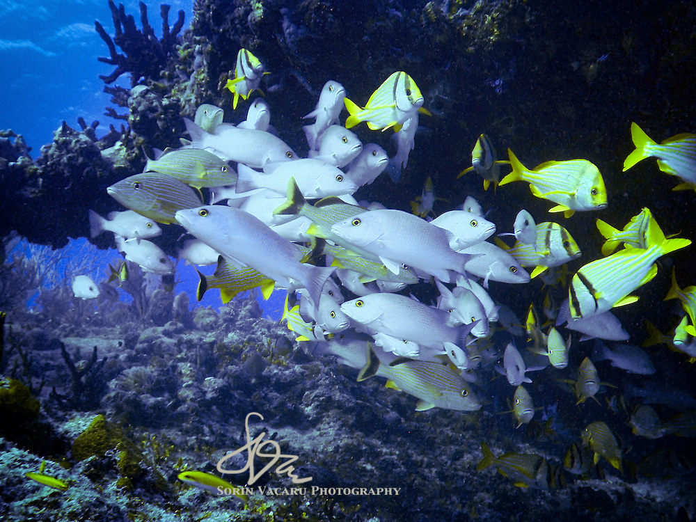 School of mangrove snappers and porkfish