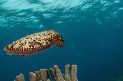 Broadclub Cuttlefish (Sepia latimanus)<br /> Cenderawasih Bay<br /> West Papua<br /> Indonesia