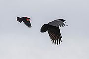 A red-winged blackbird (Agelaius phoeniceus) chases an American crow (Corvus brachyrhynchos) over the Edmonds Marsh in Edmonds, Washington.