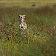 Cheetah (Acinonyx jubatus)in the grass in the Serengeti