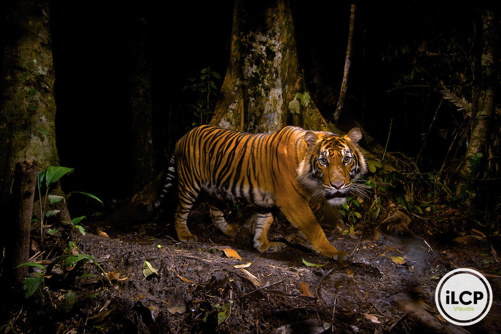 A Sumatran tiger (Panthera tigris sumatrae) peers at a camera trap it triggered while hunting in the early morning in the forests of northern Sumatra, Indonesia. Trying to photograph the critically endangered Sumatran tiger is difficult: not only do few remain, but those that do mostly live in rugged mountains. Information on where to set the camera came from a former tiger hunter who is now employed as a park ranger. Sumatran tigers may very well be the next tiger subspecies to go extinct.