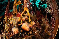 Kelp forest (Laminaria hyperborea) with Dead man's fingers  (Alcyonium digitatum), Atlantic Ocean, Strømsholmen, North West Norway   Ein Kelpwald oder Algenwald, der  hauptsächlich vom Palmentang (Laminaria hyperborea) gebildet wird. In dieser Gemeinschaft ist hier auch eine Tote Meerhand (Alcyonium digitatum) zu sehen. Sie wird auch auch Tote Mannshand oder Nordische Korkkoralle genannt und gehört zu den Lederkoralle (Alcyoniidae). Namensgebend ist ihr blasses, oft mehrfach gefingertes Aussehen.