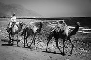 A bedouin rides his camels on the beach in south east Sinai - Egypt.  Oct 01, 2013.  Photo by Oren Nahshon
