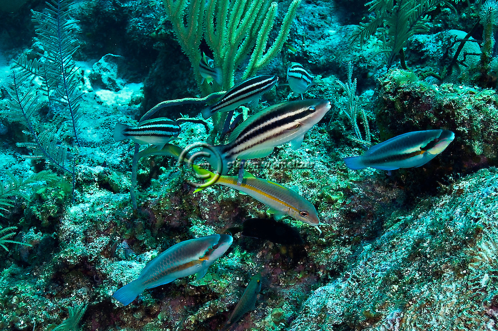 Princess Parrotfish, Scarus taeniopterus, Desmarest, 1831, Striped Parrotfish, Scarus iseri, (Bloch, 1789), Grand Cayman