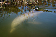 A dolphin looks up at a visitor as he navigates a narrow creek in a marsh flat of the upper May River.