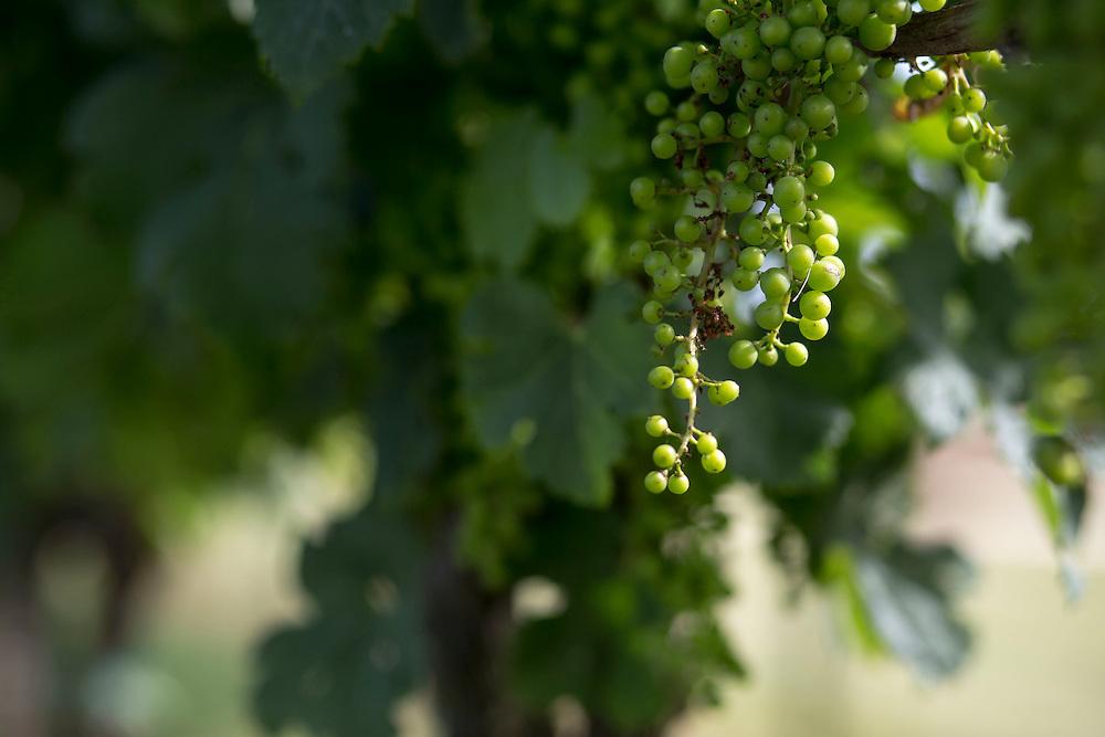 MACHIPONGO, VA - JUNE 22: Grapes on the vine at Chatham Vineyards are pictured on Sunday, June 22nd, 2014 near Machipongo, Va. (Photo by Jay Westcott/For The Washington Post)