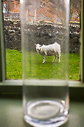 GLYN DAVIES; LLYN; Nant Gwrtheyrn; SHEEP; UK; VILLAGE; Wales; awareness; bottle; captured; humour; window; Welsh Language; Language; Animals;