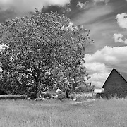 Resting Sheep Under Large Tree - Avebury, UK - Infrared Black & White
