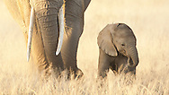 This little elephant was only a few days old and never strayed far from mother's feet.<br /> LIMITED EDITION PRINT <br /> <br /> Note:  10% of the profits from the sale of Amboseli prints goes to support the amazing work of the Amboseli Trust for Elephants.  Learn more at: www.elephanttrust.org