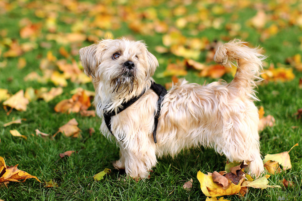 Yogi, the Shorkie (Shih Tzu, Yorkshire Terrier Cross)