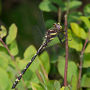 Arrowhead Spiketail.Cordulegaster obliqua.young male.Ouachita National Forest.McCurtain Co., Oklahoma.7 May 2011