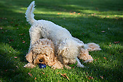 Local dogs in London These are Gilbert the cavapoo and Archie the Schnoodle playing together