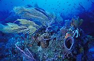 Healthy Caribbean Reef&amp;#xA;Bahamas ( Ecosystem coral gorgonian sponges )&amp;#xA;&copy; KIKE CALVO - V&amp;W&amp;#xA;<br />